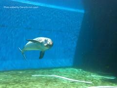 Teide (Clerss Malisha) Tags: animal animals marine blu dolphin dolphins marinemammal animali animale marino captivity delfino bottlenose marinemammals cetaceo delfini cetaceans cetacean tursiopstruncatus acquariodigenova cetacei aquariumofgenoa tursiope delfinodalnasoabottiglia