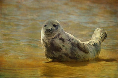 Young Seal (Sh4un65_Artistry) Tags: painterly texture mammal seal britishwildlife paintedphoto blakeneypoint texturedphoto norfolkwildlife magicunicornverybest magicunicornmasterpiece