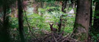 Un faon dans la forêt