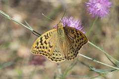 "Argynnis pandora • <a style=""font-size:0.8em;"" href=""http://www.flickr.com/photos/15452905@N02/14513816149/"" target=""_blank"">View on Flickr</a>"