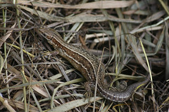 Common Lizard (Lacerta Zootoca vivipara), by Peter Alfrey