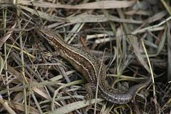 Common Lizard (Lacerta Zootoca vivipara), by Peter Alfrey