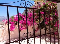 Bougainvillea in my garden (Ginas Pics) Tags: vacation españa smart mediterranean bougainvillea ginaspics mediterraneanlandscape bellaorcheta bestofspain nearbenidorm httpginanews05blogspotcom reginasiebrecht