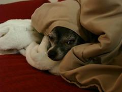 dog chihuahua black small blanket toro