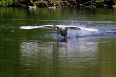 A Swan landing, 170517 DPP_0564 (clavius2) Tags: uk england bird water bay swan pond north flight marden spray east landing splash quarry whitley