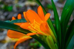 Flor Naranjona (El Richie Garcia) Tags: orange naturaleza flower nature mexico nikon flor naranja mex nikond5300