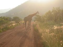 Giraffe at Pilanesberg Game Reserve, South Africa (johnjennings995) Tags: southafrica giraffe suncity pilanesberg pilanesberggamereserve