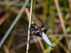 Broad-bodied Chaser, male - 1