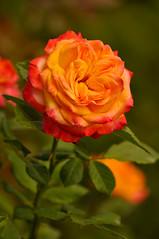 Orange Rose (Lojones13) Tags: orange rose nikon botanicalgardens blooming d5000