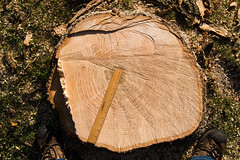 DTG_5960r (crobart) Tags: storm tree ice hill richmond stump damage ash removal emerald borer emeral