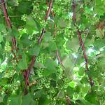 "Grapes <a style=""margin-left:10px; font-size:0.8em;"" href=""http://www.flickr.com/photos/14315427@N00/14691969230/"" target=""_blank"">@flickr</a>"