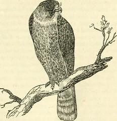 """Anglų lietuvių žodynas. Žodis falcon-gentle reiškia """"sakalas"""" -švelnus lietuviškai."""