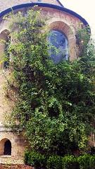 Der tausendjhrigen Rosenstock am Hildesheimer Dom. Foto: Mario Springer (harald.alex) Tags: dom hildesheim rosenstock wiedererffnung