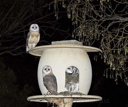Western Barn Owls  at nest _2971