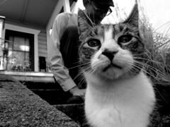 Catitude (SofiDofi) Tags: blackandwhite usa cute oregon stairs cat portland outdoors furry feline funny may m neighborhood curious stoop frontyard catman sellwood catitude summer2014