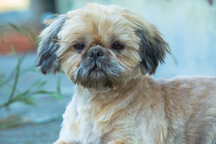 Lilly after Haircut (-JRL Photos-) Tags: pets shihtzu canon5dmkiii canon70200f28lisiiusm