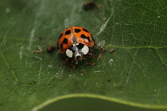 Coccinelle (pierre.anex) Tags: macro nature insect beetle ladybug scarab perledulac
