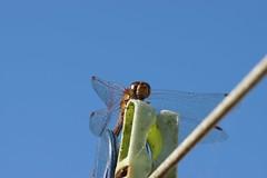 Male Common Darter Dragonfly (Rovers number 9) Tags: england macro garden bokeh sony august lancashire a77 2014 commondarterdragonfly sonya77 bkhq minoltabokeh aug2014 potd:country=gb