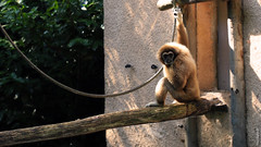 Gibbon  mains blanches (FranSight) Tags: wild en france animal danger canon zoo photo eyes flickr  photographie image picture fran 100mm oeil animaux mains aout facebook gibbon singe blanches sauvage 2014 faune amneville animalier amnville 70d zoodamnville espece photographieanimalire fransight franimage