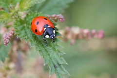 Day 27 - Ladybird on Nettle (AmbitiousJam) Tags: wild nature bug insect outdoors ladybird day27 100daysofnature