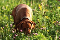 Spürnase Layla (gutlaunefotos ☮) Tags: vizsla hund magyar layla