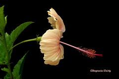 Hibisco/Hibiscus (Altagracia Aristy) Tags: flowers flores flower amrica dominicanrepublic flor hibiscus hibisco tropic caribbean antilles laromana cayena caribe repblicadominicana trpico antillas quisqueya altagraciaaristy fujifilmfinepixhs10 fujihs10 fujifinepixhs10 carbe