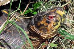 Sunnin' (Lisa Zins) Tags: canon backyard tn box turtle tennessee wildlife eastern mybackyard canonpowershot backyardcritters easternboxturtle tennesseewildlife lisazins tnwatchablewildlife