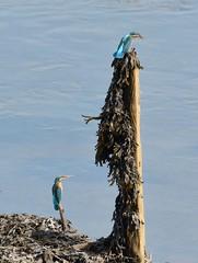 Two Kingfishers. (stonefaction) Tags: nature birds scotland fife wildlife estuary kingfisher eden faved guardbridge explored