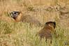 Prairie Dog (cebuphotographer) Tags: utah pcc nikoncapturenx utahprairiedog nikond300 sigma50500mmf4563os