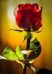 rose (Laurent Hutinet) Tags: flower macro nature rose fleurs rainbow autofocus eos550d rainbowofnature