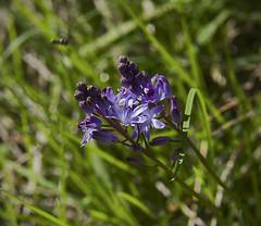 / Scilla autumnalis (Prospero autumnale) /   / Herbst-Blaustern (katunchik) Tags: bulgaria bulgarie bulgarien