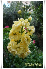 Uno de mis colores favoritos.... (akel_lke ) Tags: flores flower fleur rachel flor olympus raquel murcia amarillo blomma b