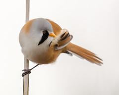 Bearded Tit Portrait (mnielsen9000) Tags: portrait bird closeup beardedtit panurusbiarmicus skgmejse