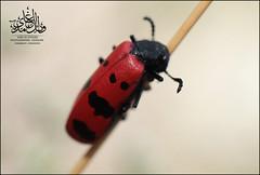خنفساء (Wael Al-Ghamdi) Tags: macro canon bug 5d markii تصوير حشرة تصويري ماكرو كانون حشرات خنفساء