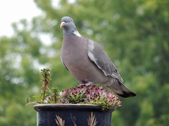 Pigeon (Sharon B Mott) Tags: nature birds wildlife pigeons woodpigeons britishbirds gardenvisitors