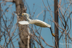 Snowy Egret launch sequence - 4 of 5