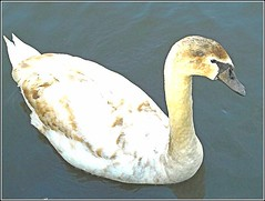 Young Swan .. (** Janets Photos **) Tags: uk hull publicparks waterbirds swans cygnets