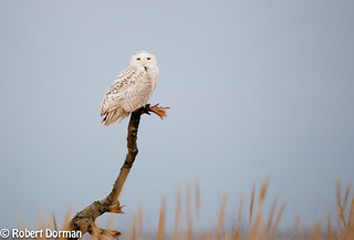 Snowy Owl at the Jersey Shore (Sandy Hook)