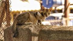 Cat life, Street life (richard_fernando) Tags: cat life street fence sun sunny wild cats wall streets mumbai vashi india city stare staring looks beautiful photography nature