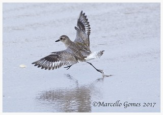 Black-bellied Plover (Pluvialis squatarola) BBPL - It was so excited to see me that it ran for a hug:)