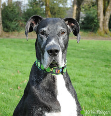 10.52.2017 Irish Lassy (kmmorgan1977) Tags: 52weeksfordogs 52wfd2017 greatdane dogs kkzsapachevegasrose dane stpatricksday irish shamrock green oregon spring 2017 sun