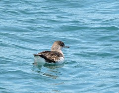 fluttering shearwater on pelagic to Charlotte Sound with Eco-tours (Pete Read) Tags: fluttering shearwater charlotte sound ecotours new zealand