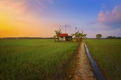 Paddy Field (by nelzajamal) Tags: paddy field sawah padi bendang melaka malacca malaysia sunset sunrise timelapse sony rice