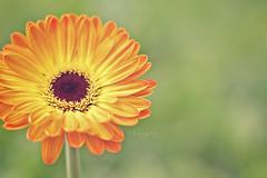 a flower for you (Chai Yen) Tags: orange flower bokeh gerbera malaysia cameronhighlands pahang orangegerbera