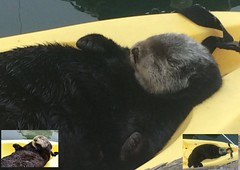 Otters, friends and the internet..... (rona.h) Tags: june monterey seaotter facebook 2014 cloudnine wws ronah