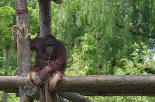 Shanghai Wild Animal Park - Orangutan / 上海野生动物园 - 猩猩