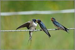 Boerenzwaluw (pietplaat) Tags: vogels boerenzwaluw middendelfland pietplaat