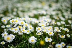a flower is a lovesome thing (Antonio_Trogu) Tags: flowers italy primavera field grass daisies spring italia blossom bokeh blossoms daisy fiori prato margherita emiliaromagna margherite formigine fioritura antoniotrogu