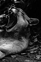 Suçuarana (Olivier Jaudoin) Tags: puma onçaparda noiretblanc blackwhite
