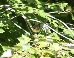 "Philadelphia Vireo • <a style=""font-size:0.8em;"" href=""http://www.flickr.com/photos/92887964@N02/14422320139/"" target=""_blank"">View on Flickr</a>"